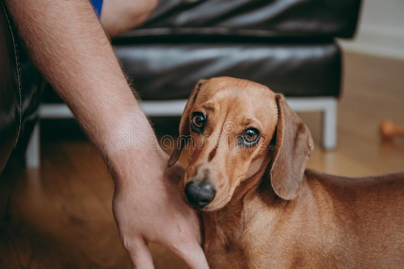 Owner`s hand caressing brown smooth hair dachshund puppy. Owner`s hand caressing brown smooth hair dachshund puppy standing on the wooden floor at home stock images
