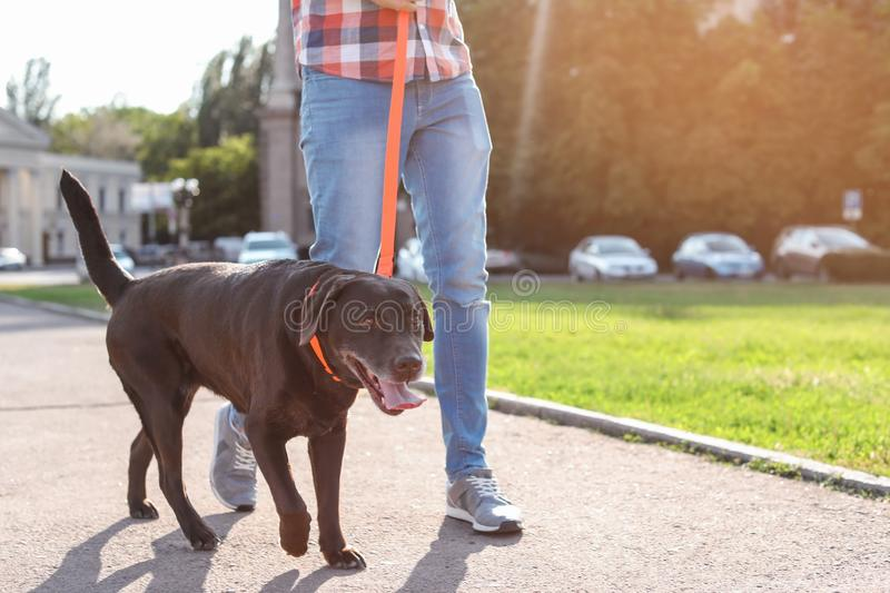 Owner walking his brown labrador retriever. Outdoors royalty free stock images