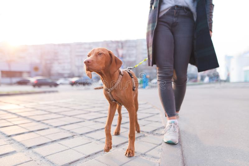 Owner walks around the city with a dog of the Magyar Vizsla breed. A beautiful dog walks on a leash with a girl. The owner walks around the city with a dog of stock photos