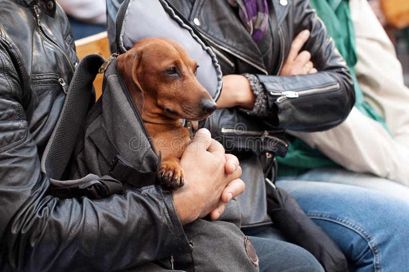 Owners travel with their favorite dachshund. Owners are walking their funny dog in the city in a backpack stock photo