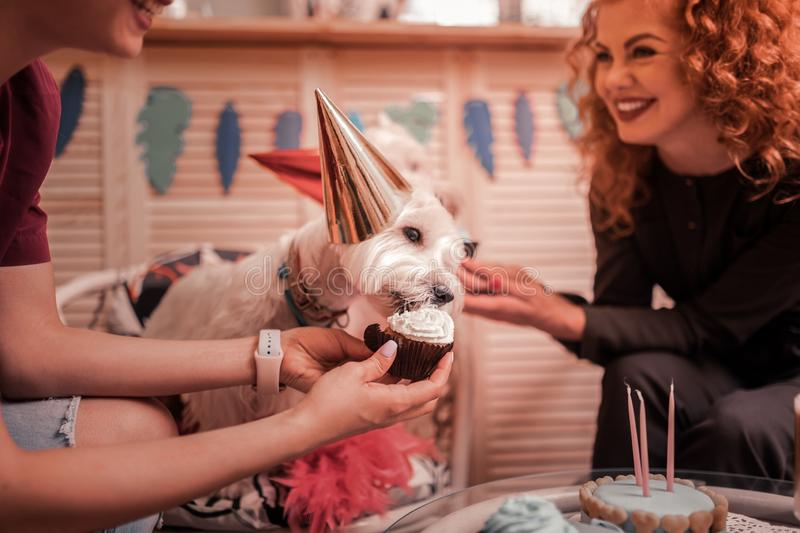 Owners of white dogs laughing while feeding them with cupcakes. Feeding dogs. Owners of white dogs laughing while feeding them with cupcakes and celebrating royalty free stock photo
