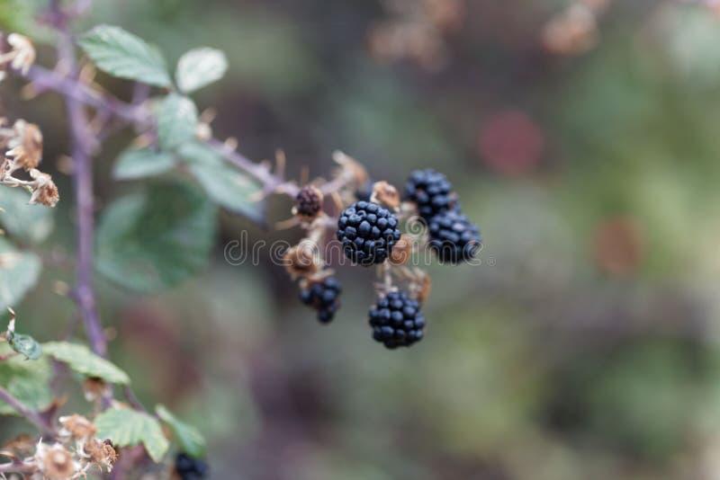 Owoc święty bramble Rubus sanctus obrazy royalty free