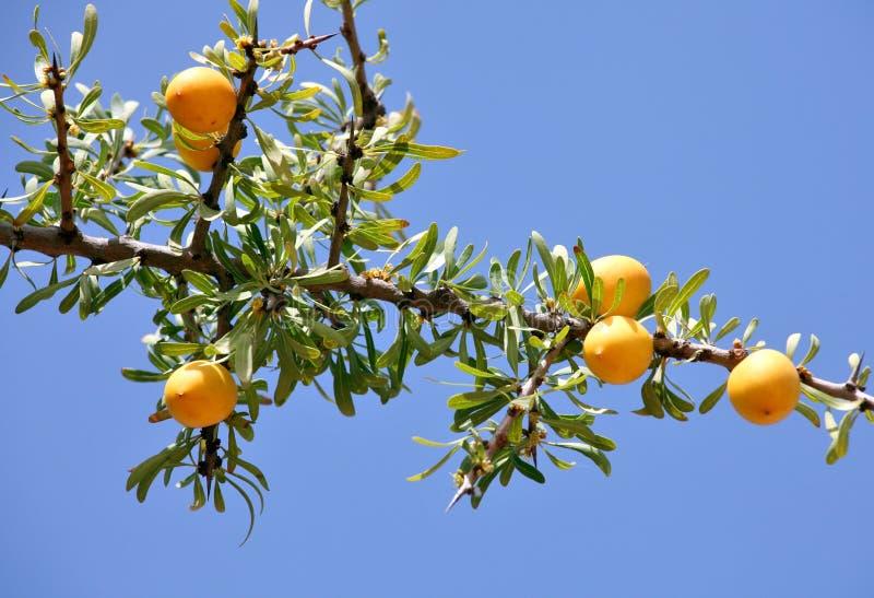 Download Owoc Argan drzewo obraz stock. Obraz złożonej z plantacja - 65225311