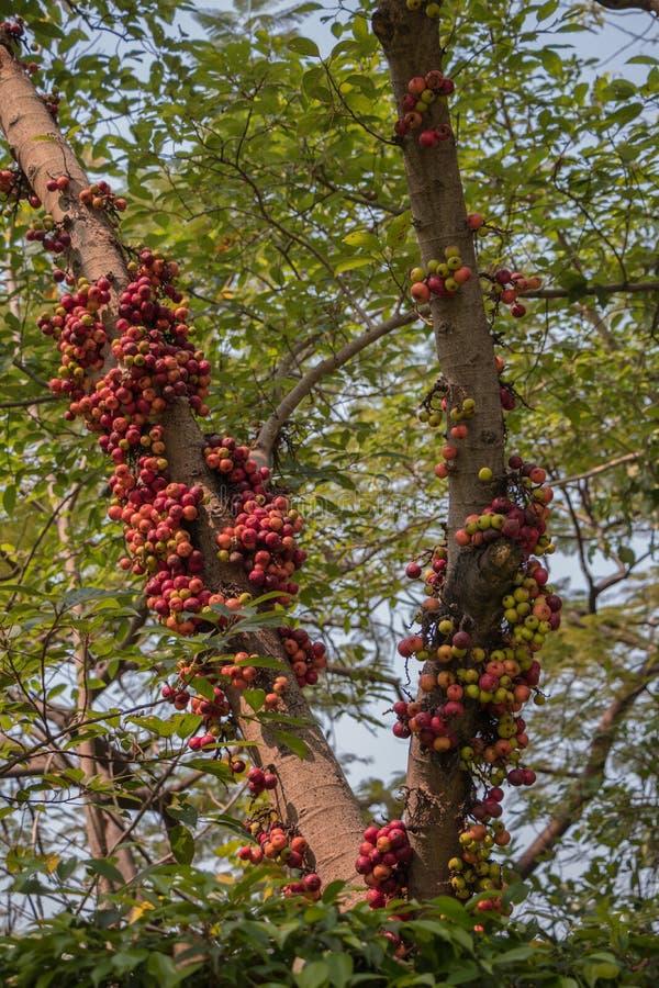 Owoc Ficus Racemos Pospolita imię figi owoc, grono figi drzewo obrazy royalty free