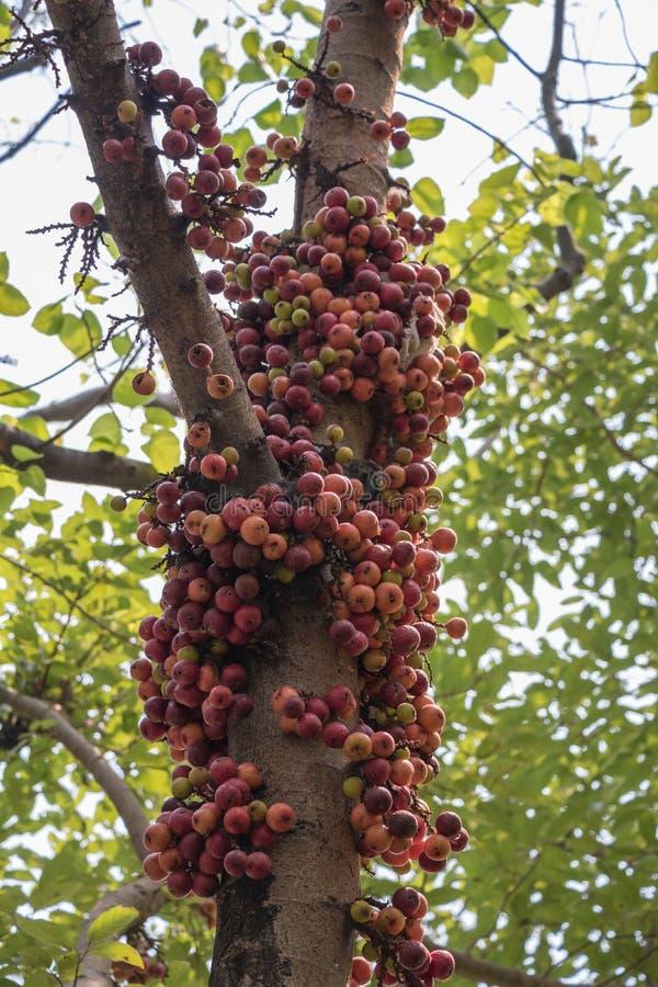 Owoc Ficus Racemos Pospolita imię figi owoc, grono figi drzewo zdjęcie stock