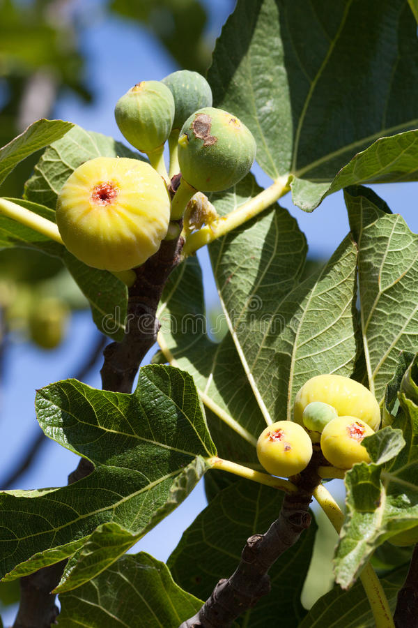 Owoc figi drzewo obraz royalty free