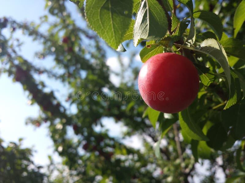 Owoc int drzewo fotografia royalty free