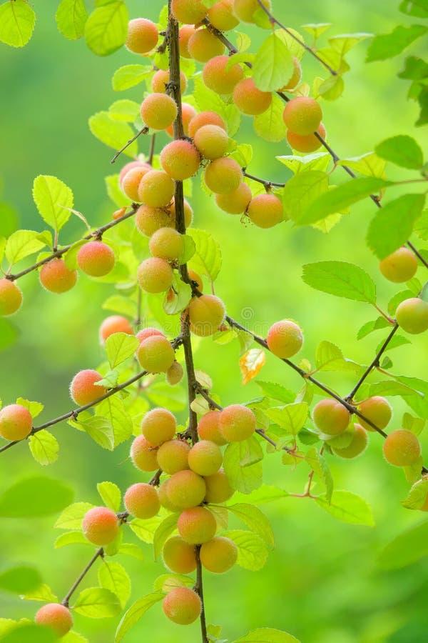Owoc Kwiatonośna śliwka fotografia stock