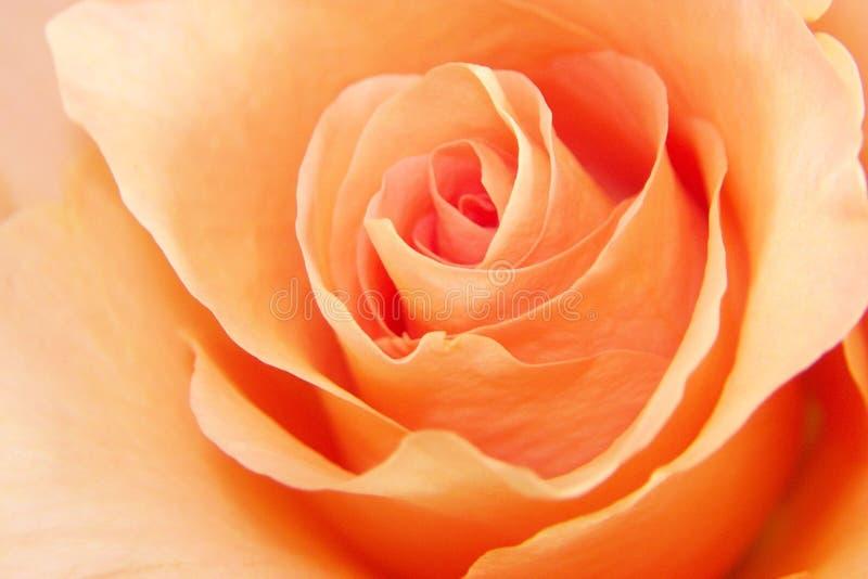 Owoc Miłości Rose Obrazy Royalty Free