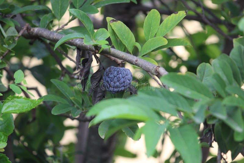 Owoc na wiszącej roślince To święty owoc związany z błogosławieństwem bogów Dorastaliśmy w moim domu z daleka zdjęcie stock