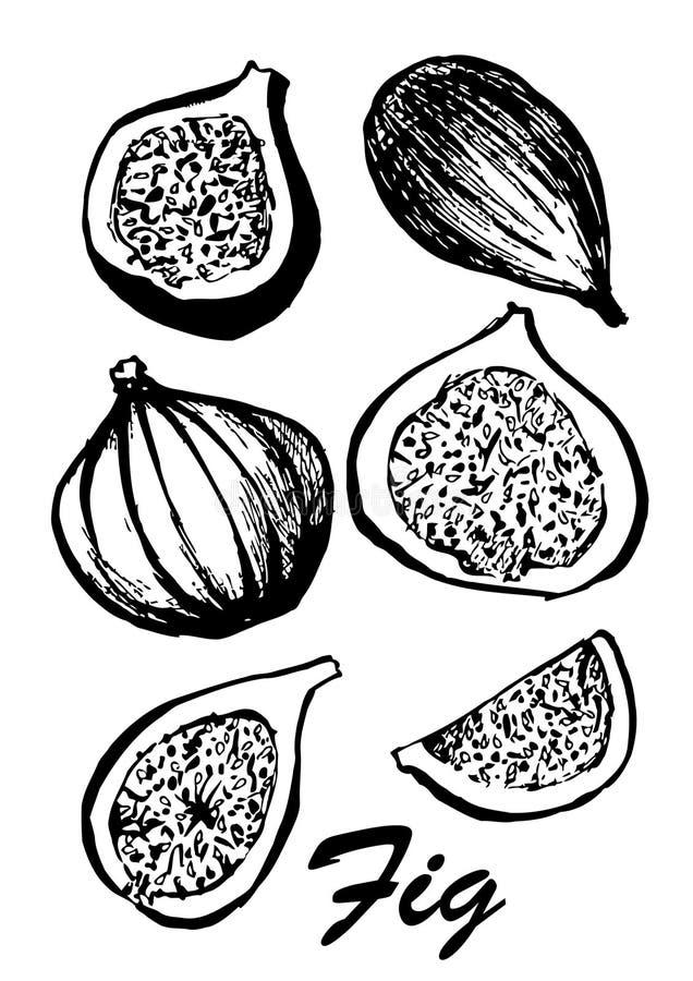 Owoc odizolowywająca na białym tle figi drzewo Jarski jedzenie Botaniczna karmowa ilustracja ilustracja z nakreśleniem royalty ilustracja