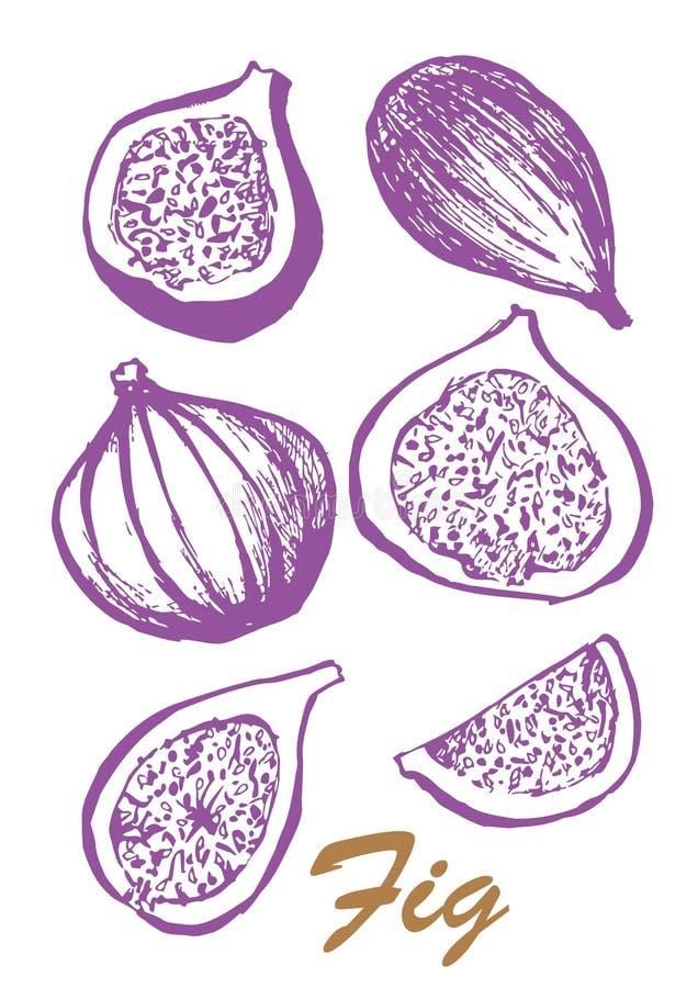 Owoc odizolowywaj?ca na bia?ym tle figi drzewo Jarski jedzenie Botaniczna karmowa ilustracja ilustracja z nakre?leniem zdjęcie stock