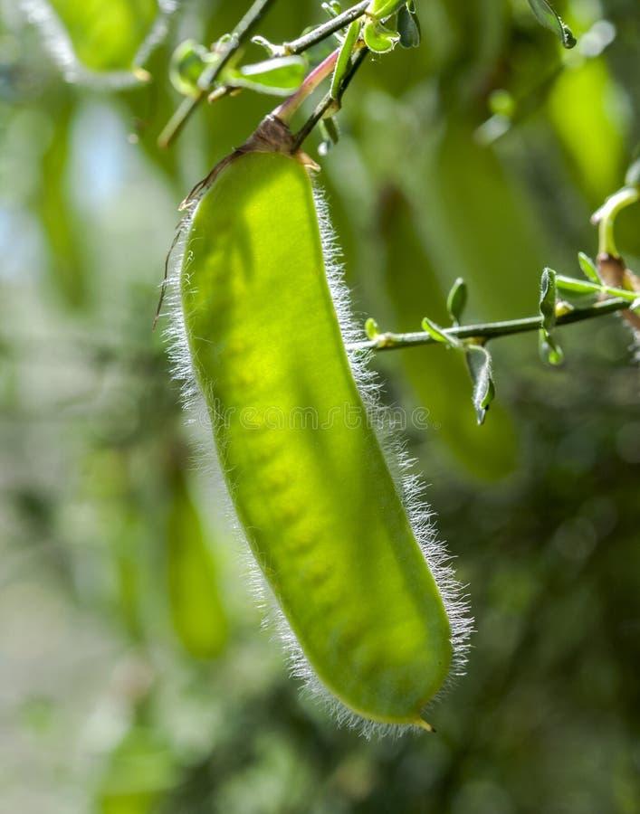 Owoc Pospolita miotła, Cytisus scoparius zdjęcie royalty free