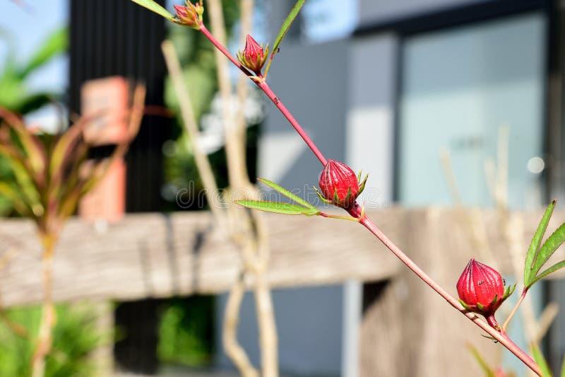 owoc roselle fotografia royalty free