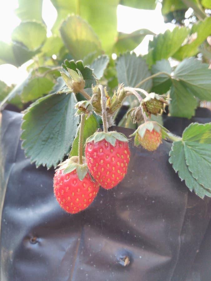 Owoc, truskawka obrazy stock