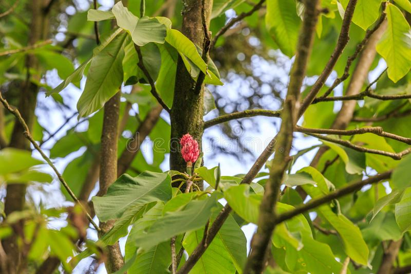Owoc Whitebark magnolia, Magnoliowy hypoleuca obraz royalty free