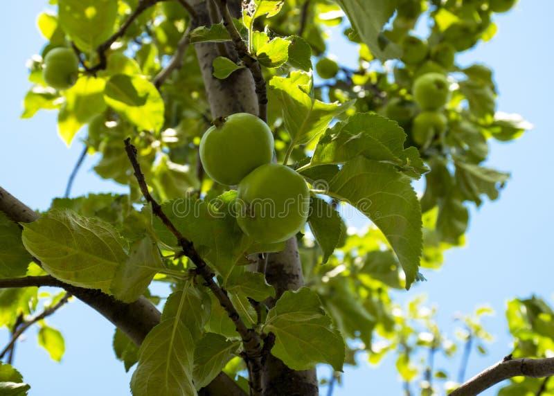 Owoc zielony jabłko r na gałąź w ogródzie Potomstwa zielenieją niedojrzałego jabłka zdjęcie stock