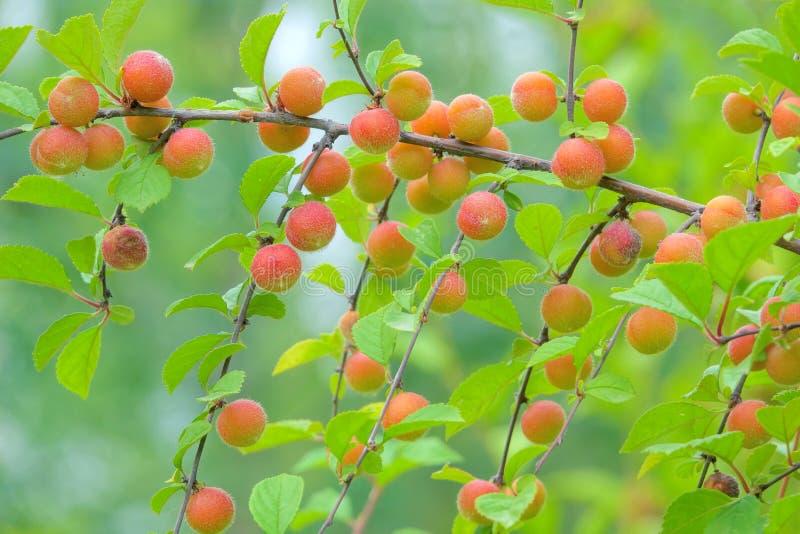 Owoce śliwki kwiatowej fotografia royalty free