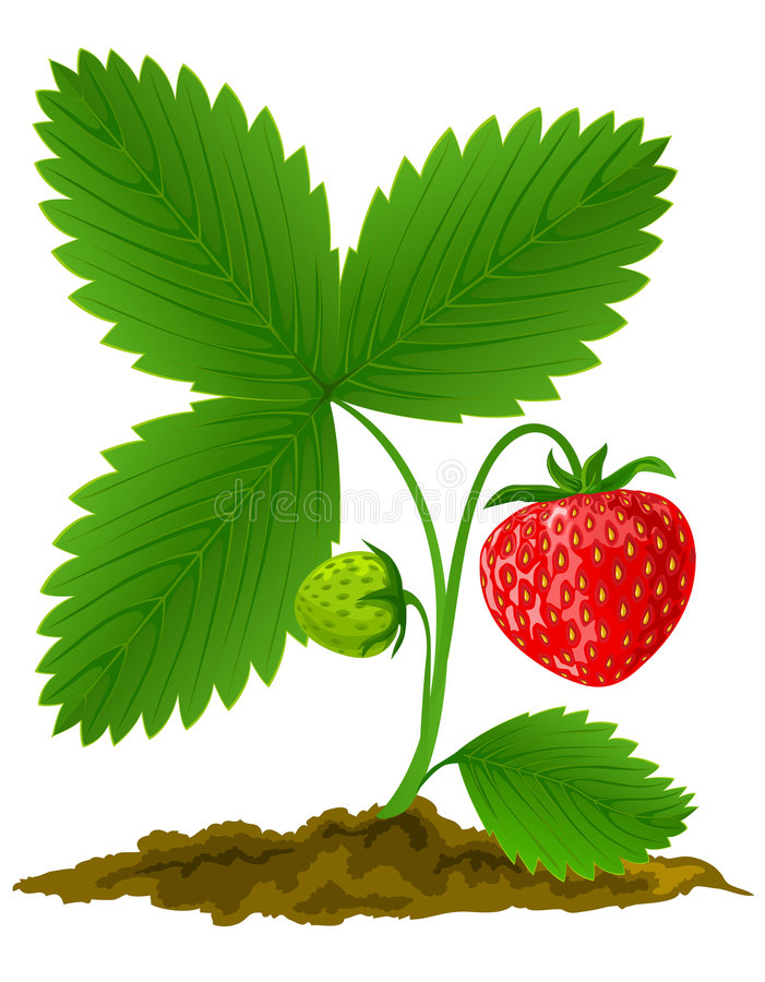 owoce liści zielona czerwień truskawka ilustracja wektor