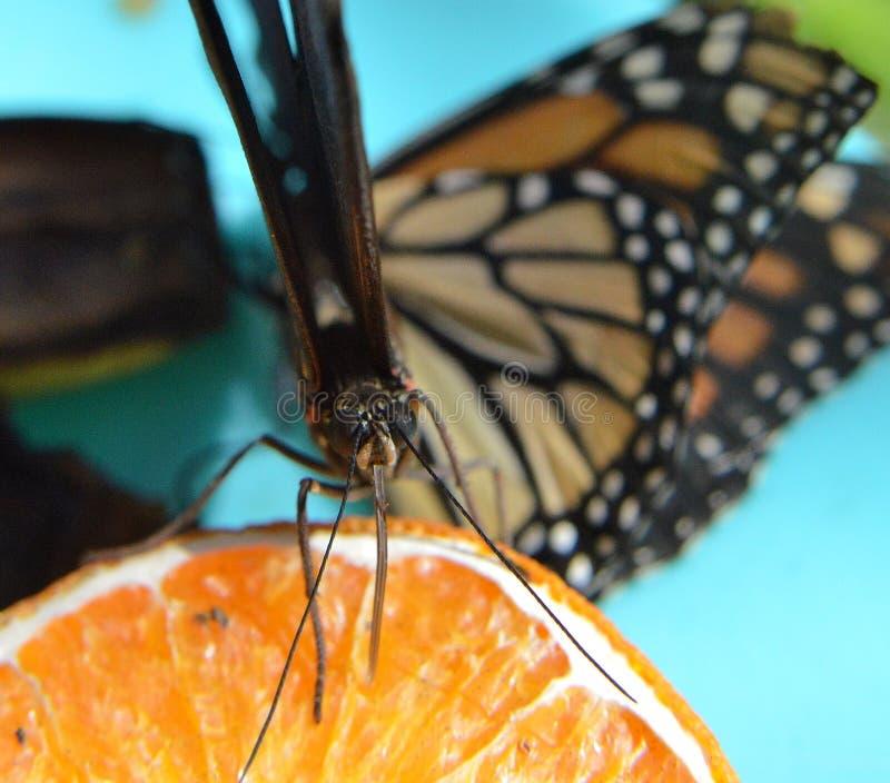 Owoce pomarańczowe z makro-języka obraz royalty free