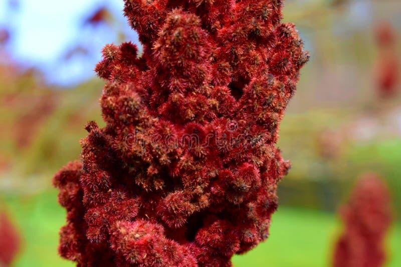 Owoce Staghorn sumac lub Rhus typhina obraz stock