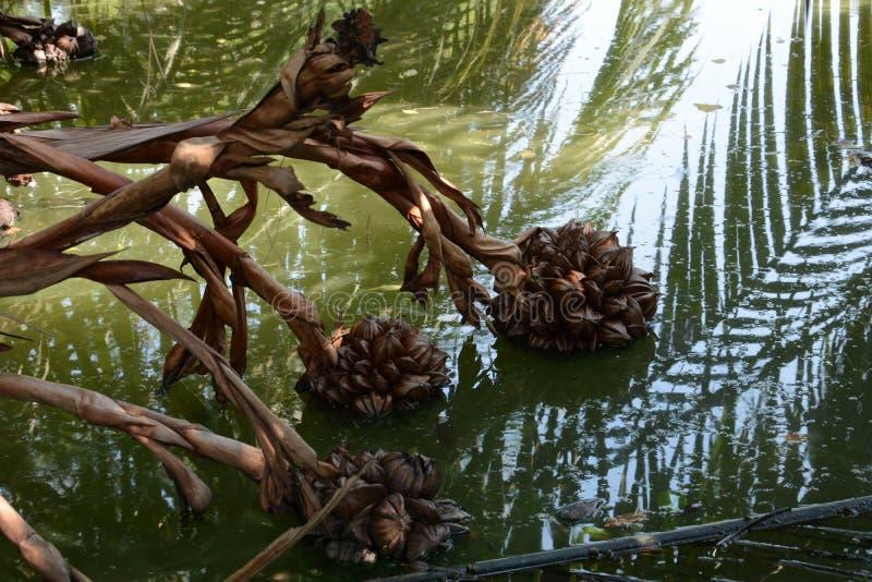 owocowa palma zdjęcia stock