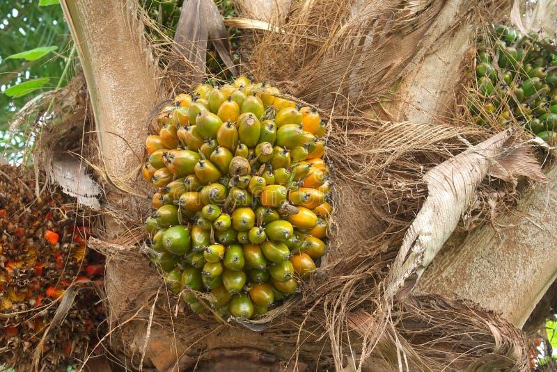 owocowa palmowa roślina obraz royalty free
