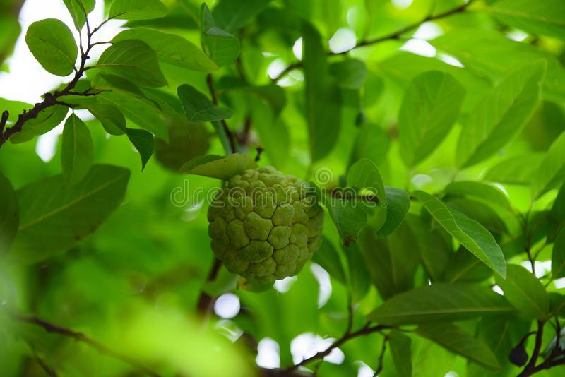 Owocowego custard moutain Baden tayninh Vietnam fotografia stock