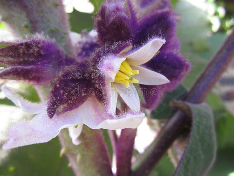Owocowego drzewa kwiatu Solanum quitoense fotografia stock