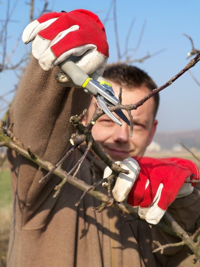 Owocowego drzewa przycinać fotografia stock