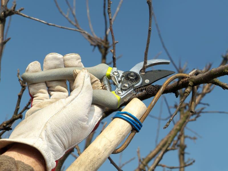 Owocowego drzewa przycinać zdjęcie stock