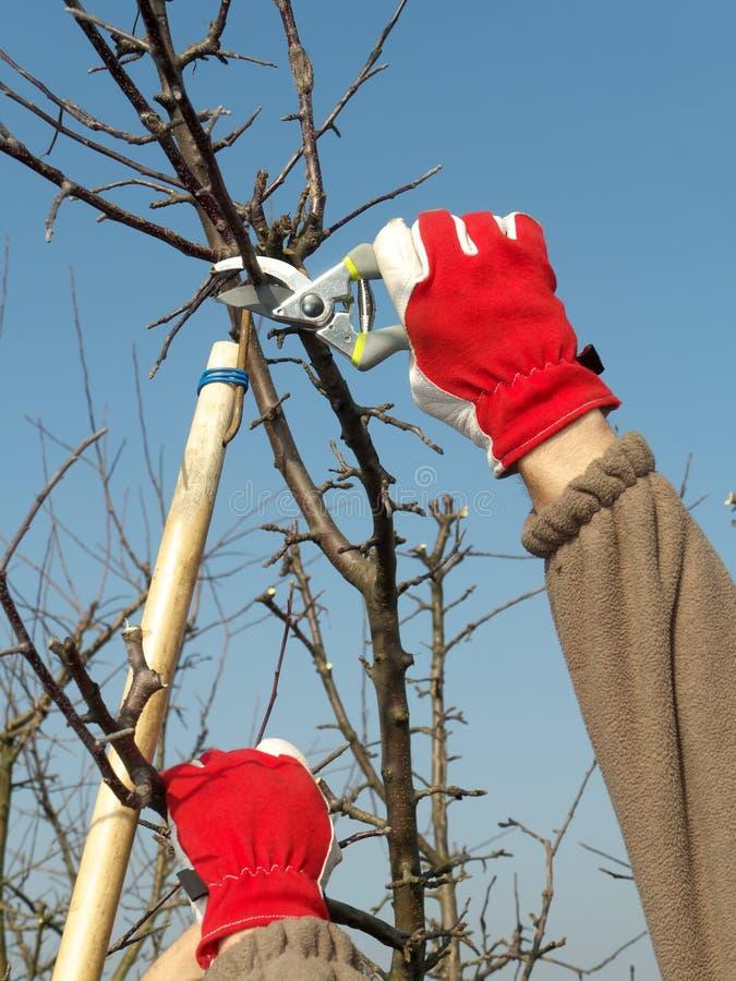 Owocowego drzewa przycinać fotografia royalty free