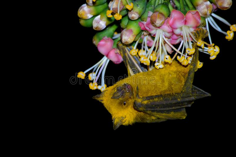Owocowego nietoperza pokrywa w Polen zdjęcie royalty free