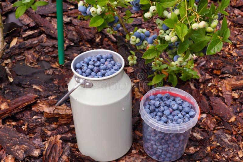Owocowi zbiorniki wypełniający z świeżo ukradzionymi czarnymi jagodami praca ogrodowa obraz stock