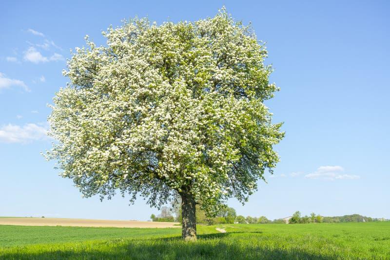 Owocowy drzewo przy wiosna czasem obraz royalty free