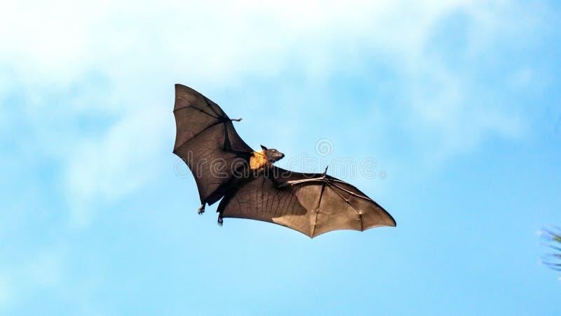 Owocowy nietoperz, latającego lisa latania psa latanie, Maldives obraz royalty free