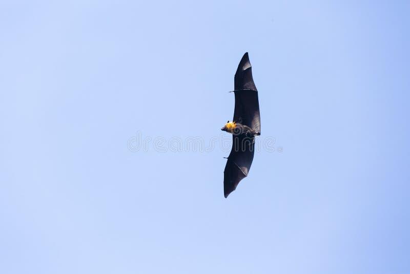 Owocowy nietoperz przy tropikalnymi wyspami Seychelles zdjęcia stock