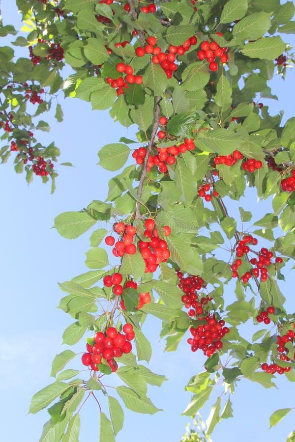 Owocowy sad z świeżymi czerwonymi wiśniami w niebieskim niebie fotografia royalty free
