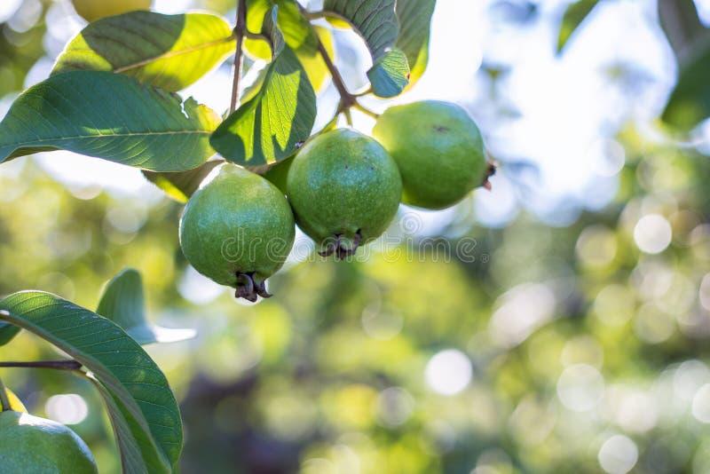 owocowy zielony guava fotografia stock