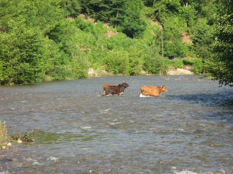 Ows crossing river countryside farmer. Cows crossing river countryside farmer.Cows crossing the river in the countryside on a background of green trees and royalty free stock photography