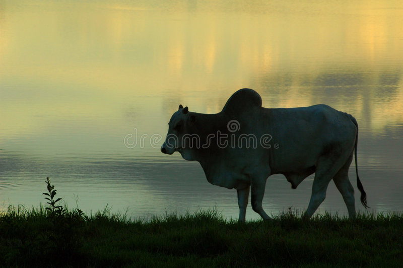 An ox stock photo