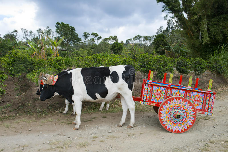 Ox Cart and Cows on Coffee Plantation in Costa Rica, Travel. Tourists who travel to Costa Rica on vacation or holiday will most likely see the colorful ox cart royalty free stock photography