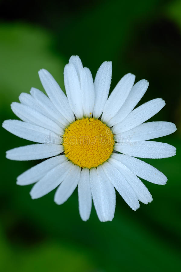 Ox-eye Daisey flower from above stock photos