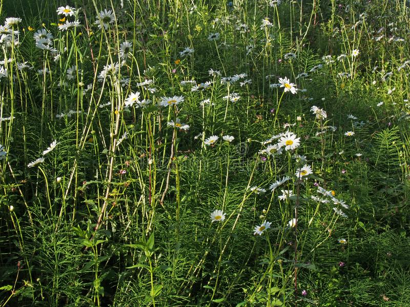 Ox eye daisies growing in a meadow with dappled sunlight and shadow royalty free stock photos