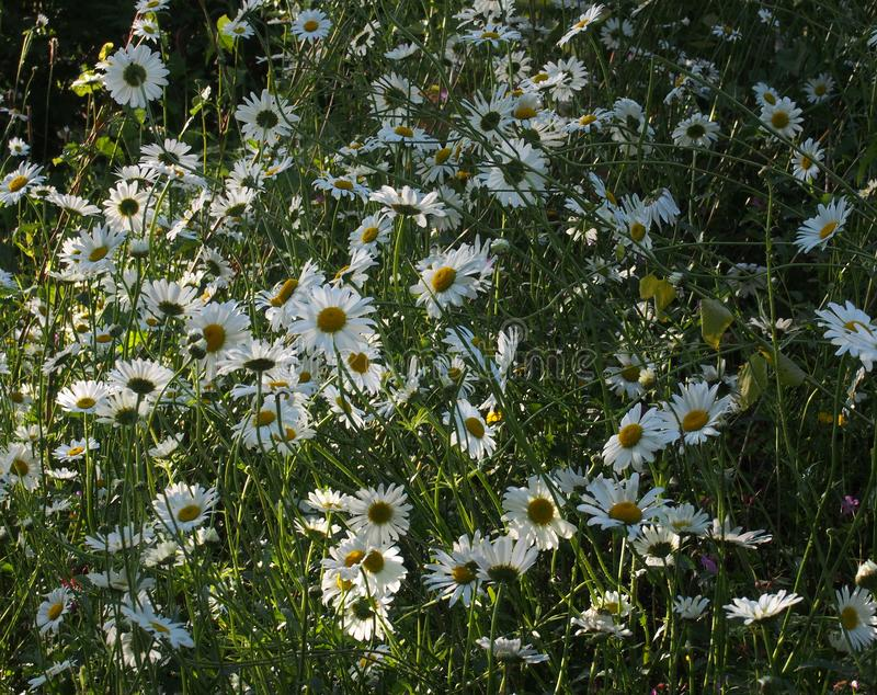ox eye daisies growing wild in a summer meadow in bright sunlight royalty free stock photos