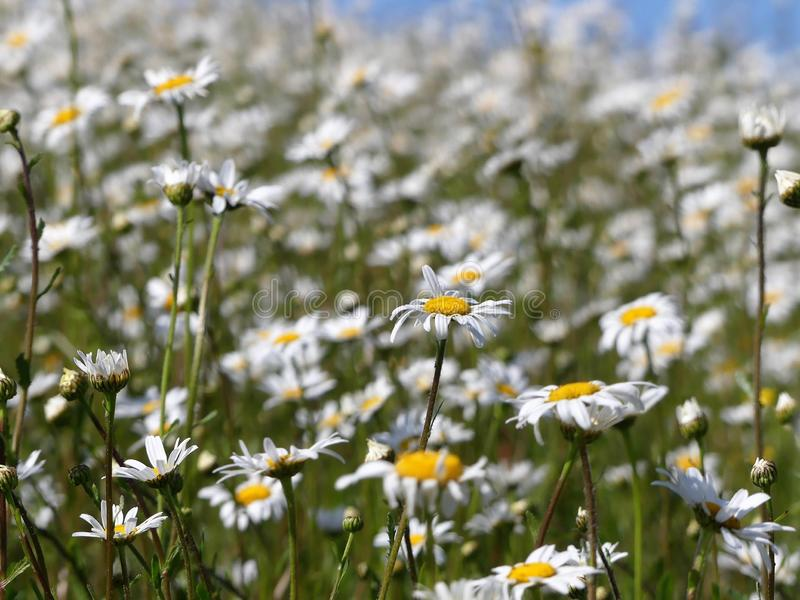 Ox-eye daisies Leucanthemum vulgare with blurred background royalty free stock photo