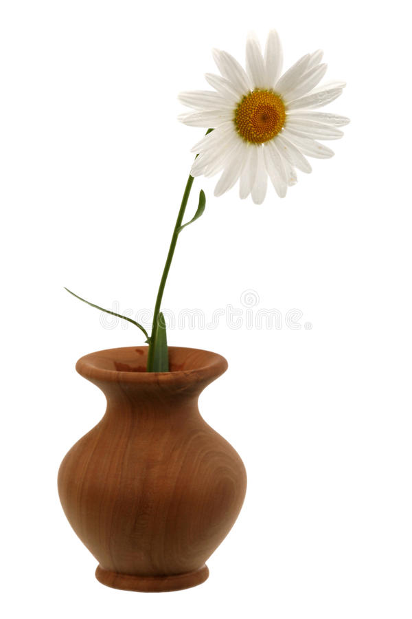 Ox-eye daisy. In a vase it is isolated on a white background royalty free stock images