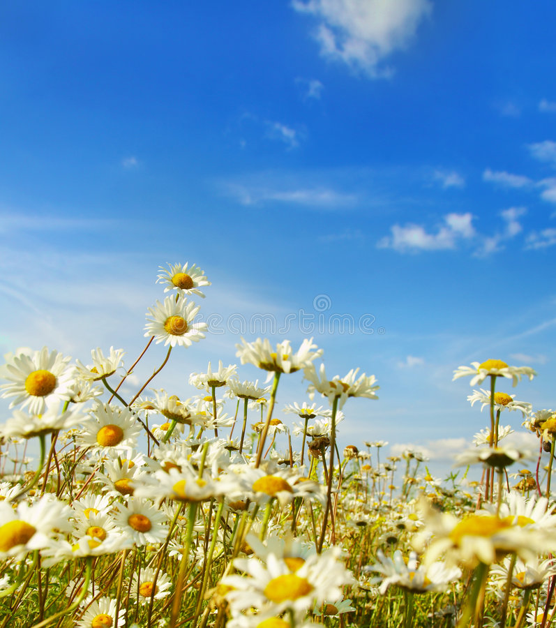 Ox-eye daisy. In the field royalty free stock images