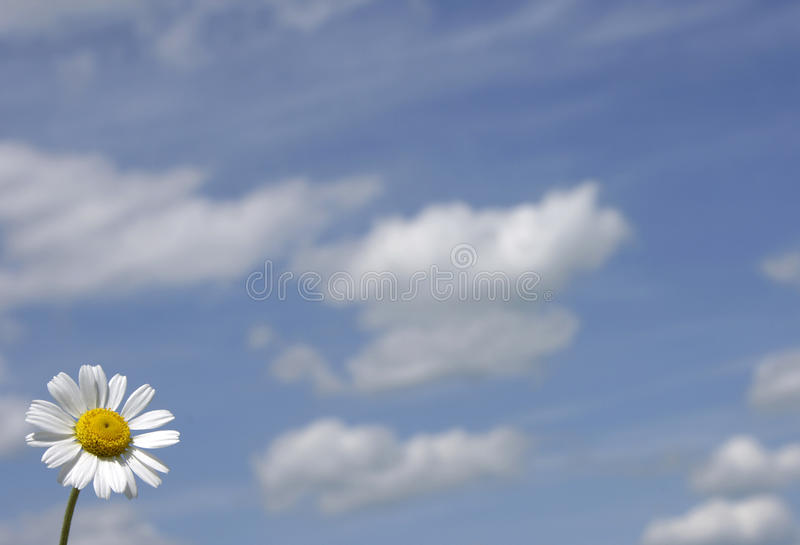 Ox-eye daisy. Relating to the blue sky royalty free stock images