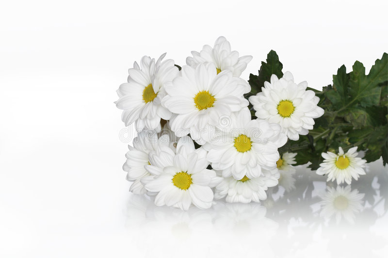 Ox-eye Daisy Bouquet. Bunch of ox-eye daisy isolated on white background with clipping path royalty free stock photography